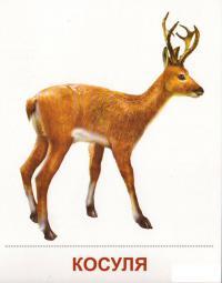 Карточки дикие животные, косуля