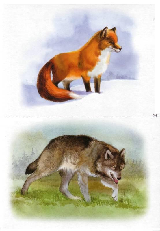 Карточки волк и лиса