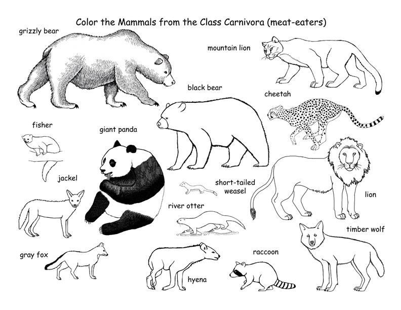 Обучающие раскраски, медведь, львица, гепард