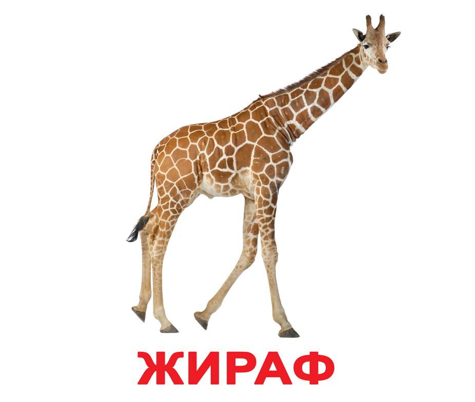 Карточки дикие животные, жираф