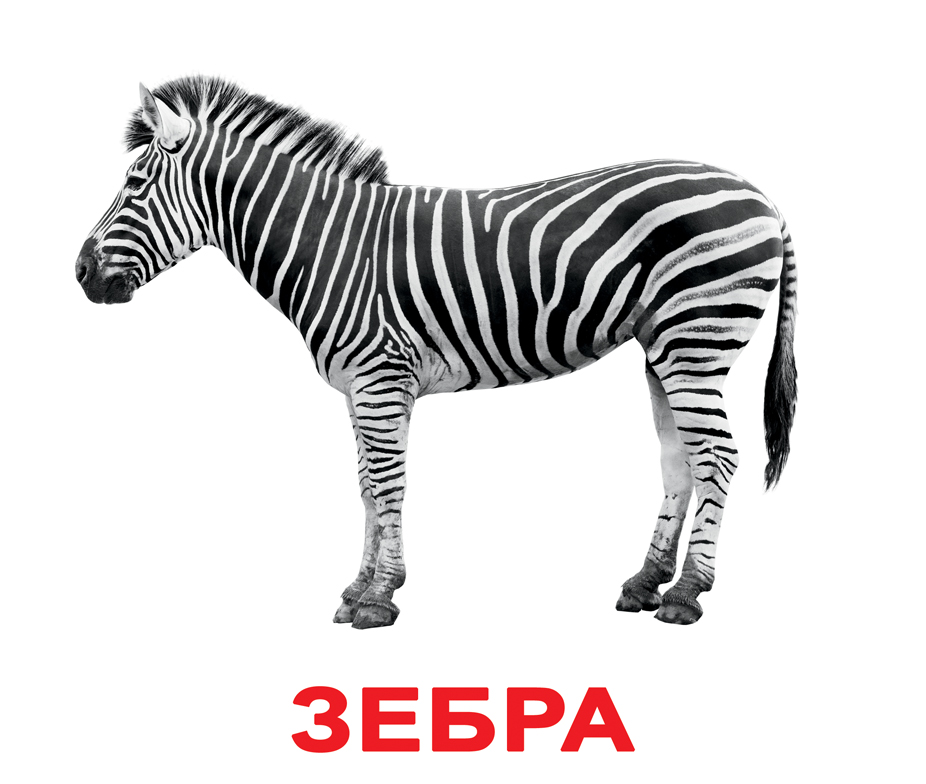 Карточки дикие животные, зебра