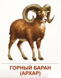 Карточки дикие животные, архар - горный баран