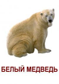 Карточки дикие животные, белый медведь