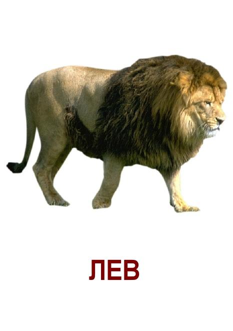 Карточки дикие животные, лев