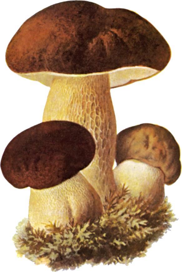 Карточки грибы
